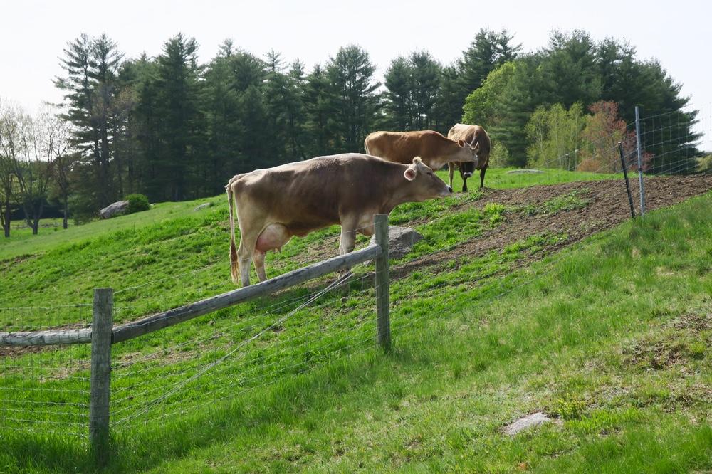 Cows at Remick farm.